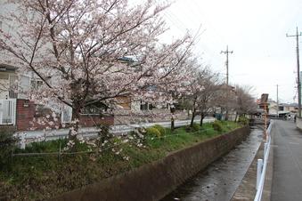 東川沿いの桜#386996