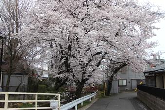 東川沿いの桜#386997