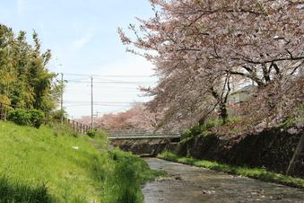 東川沿いの桜#387005