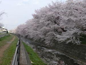 東川沿いの桜#387009