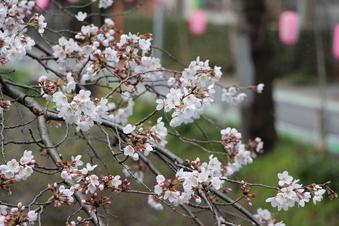 東川沿いの桜#386947