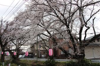 東川沿いの桜#386949