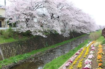 東川沿いの桜