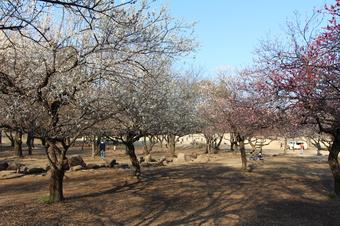航空公園の梅園