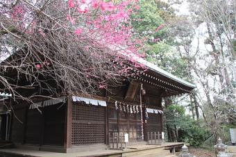 鳩峯八幡神社の梅