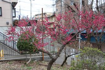 六所神社の梅#387366