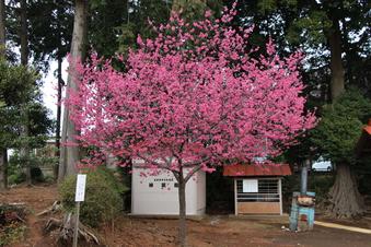 六所神社の梅#387367