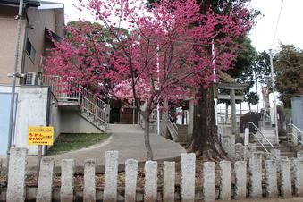 六所神社の梅#387369