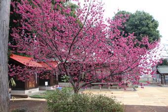 六所神社の梅