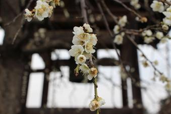 全徳寺の梅#387306