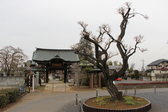 全徳寺の梅#387298