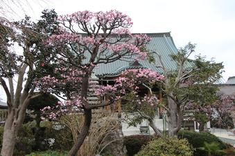 全徳寺の梅#387324
