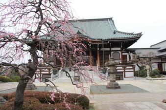 全徳寺の梅#387325