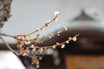 全徳寺の梅#387299
