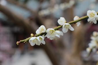 全徳寺の梅#387302