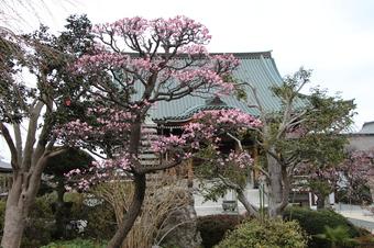 全徳寺の梅