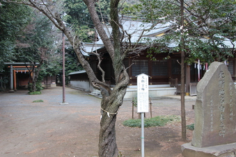 北野天神社の梅#387337