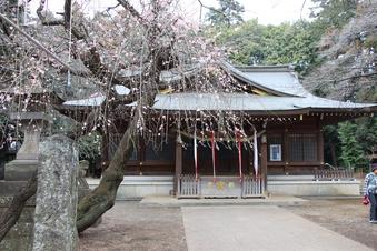 北野天神社の梅#387339