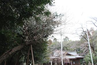 北野天神社の梅#387330