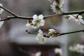 北野天神社の梅#387331