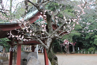 北野天神社の梅#387332