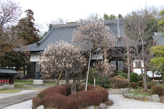 永源寺の梅