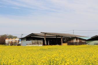 東川沿いの菜の花#387399