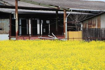 東川沿いの菜の花#387391