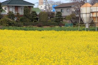 東川沿いの菜の花#387392