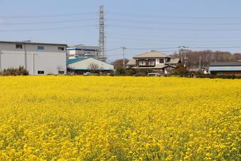 東川沿いの菜の花#387396
