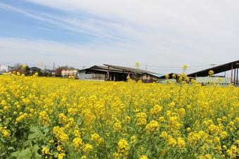 東川沿いの菜の花#387397