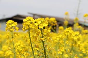 東川沿いの菜の花#387398