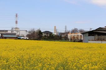 東川沿いの菜の花