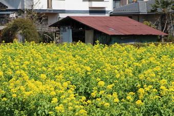 浦所沿いの菜の花