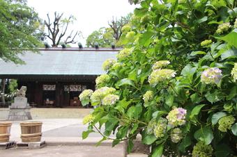 所澤神明社のアジサイ